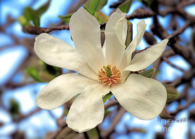Photograph - Sweet Magnolia by Janice Drew