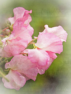 Photograph - Sweet Pea - 365-123 by Inge Riis McDonald