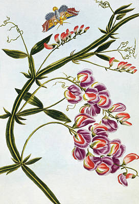 Sweet Pea Art Print by Pierre-Joseph Buchoz