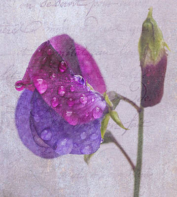 Photograph - Sweet Pea Raindrops by Diane Fifield