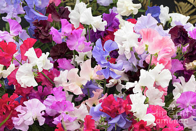 Photograph - Sweet Pea Spencer Flowers by Tim Gainey