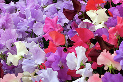 Photograph - Sweet Peas by Fran West