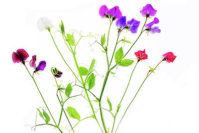 Photograph - Sweet Peas by Rebecca Cozart
