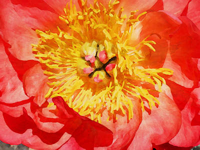 Photograph - Sweet Peony by Jacklyn Duryea Fraizer
