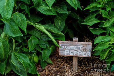 Photograph - Sweet Pepper by David Arment