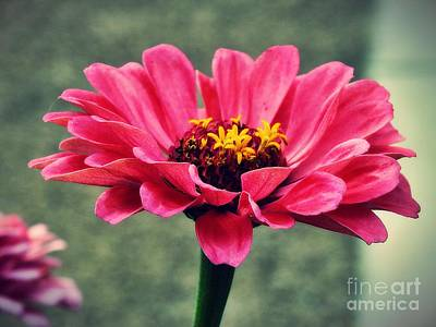 Photograph - Sweet Pink Zinnia by Christy Ricafrente