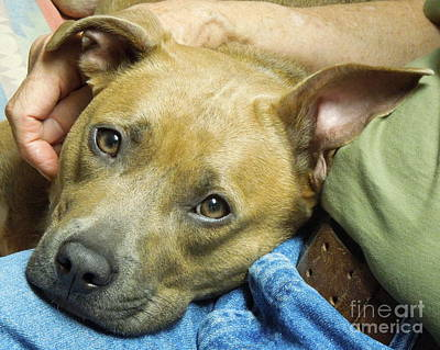 Photograph - Sweet Pit Bull . Face Of Love by Renee Trenholm
