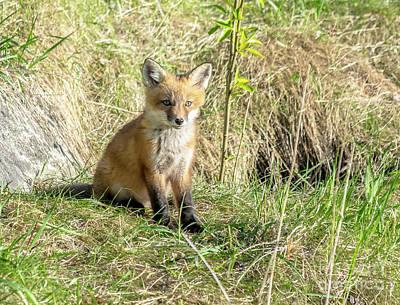 Photograph - Sweet Posing Fox Kit by Cheryl Baxter