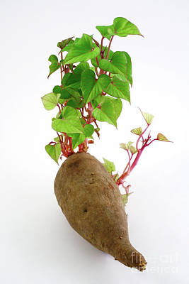 Potato Photograph - Sweet Potato by Gaspar Avila