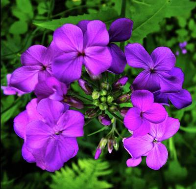 Photograph - Sweet Rocket-dame's Rocket-pink-purple-mauve by Mike Breau