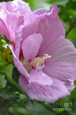 Photograph - Sweet Rose Of Sharon 3 by Maria Urso