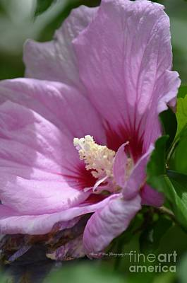 Photograph - Sweet Rose Of Sharon 4 by Maria Urso