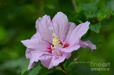 Photograph - Sweet Rose Of Sharon by Maria Urso