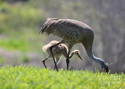 Baby Bird Photograph - Sweet Sandhill Chick With Mom by Carol Groenen