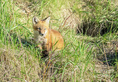 Photograph - Sweet Sitting Fox Kit by Cheryl Baxter