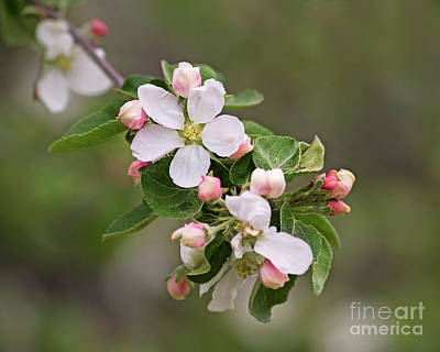 Photograph - Sweet Spring by Nina Stavlund