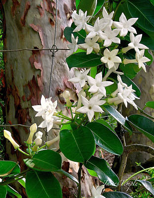 Photograph - Sweet Stephanotis by James Temple