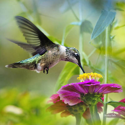 Ruby Throated Hummingbird Photograph - Sweet Success Hummingbird Square by Christina Rollo