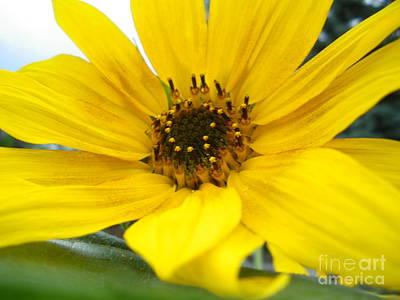Sweet Sunflower Art Print