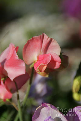 Photograph - Sweet Sweet-peas by Andrea Jean