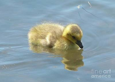 Photograph - Sweet Swimming Gosling by Carol Groenen