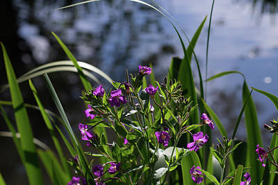 Photograph - Sweet Violet by Ian Thompson
