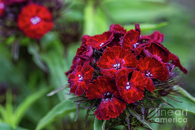 Photograph - Sweet William by Eva Lechner