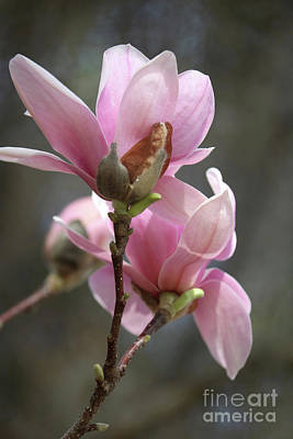 Photograph - Sweetest Pink Magnolia by Carol Groenen