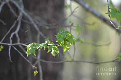 Photograph - Sweetgum Beginnings by Maria Urso