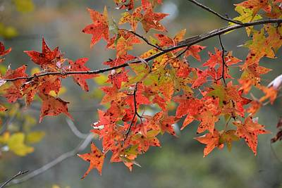 Photograph - Sweetgum Fall Color by rd Erickson