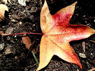 Photograph - Sweetgum Leaf  by Beth Akerman