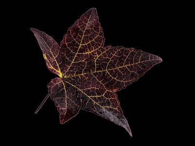 Photograph - Sweetgum  Leaf by Jean Noren