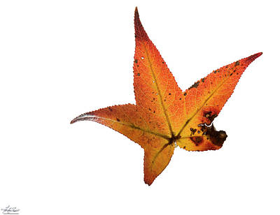 Photograph - Sweetgum Leaf by Phil Rispin
