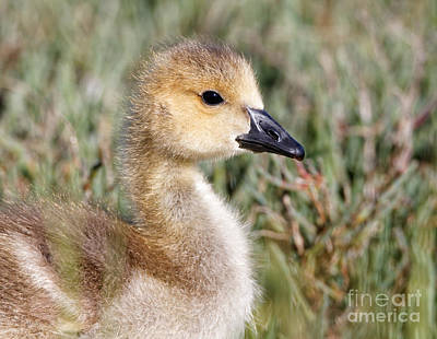 Photograph - Sweetie Gosling by Sue Harper