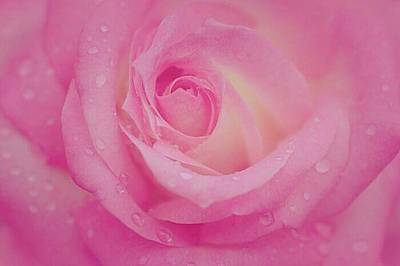 Photograph - Sweetly Pink Rose by The Art Of Marilyn Ridoutt-Greene