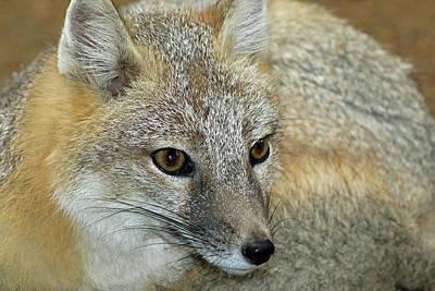 Photograph - Swift Fox - Captive by Pamela Critchlow