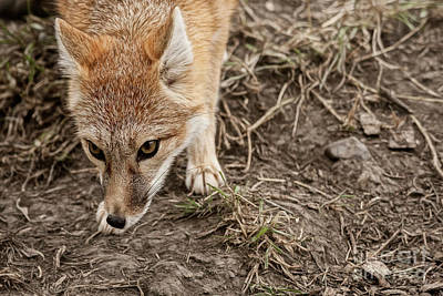 Photograph - Swift Fox I by Brad Allen Fine Art