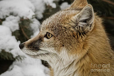 Photograph - Swift Fox II by Brad Allen Fine Art