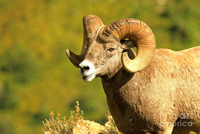Photograph - Swiftcurent Bighorn Ram Closeup by Adam Jewell
