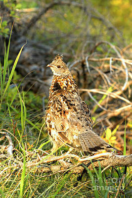 Photograph - Swiftcurrent Ptarmigan by Adam Jewell