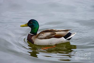 Photograph - Swim Mallard Swim by Jennifer White