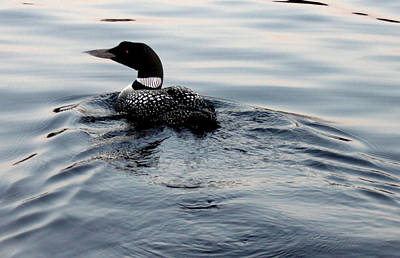 Photograph - Swimming Away by Robert Morin