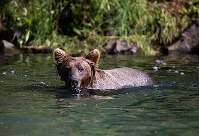 Photograph - Swimming Bear by Gloria Anderson