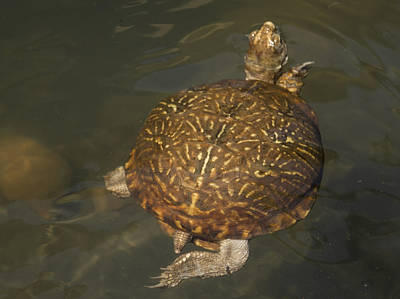 Photograph - Swimming Box Turtle by Jean Noren