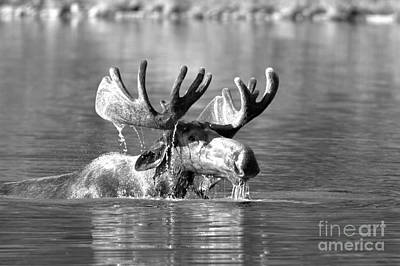 Photograph - Swimming Bull Moose Drool Black And White by Adam Jewell