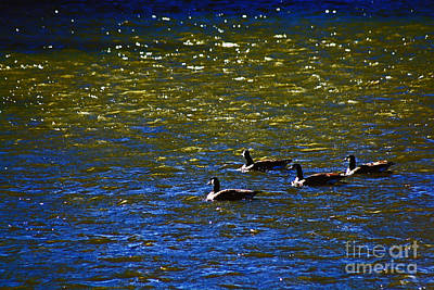Swimming Geese 2 Art Print by Don Baker