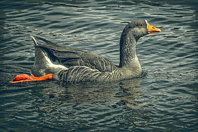 Digital Art - Swimming Goose by Sandra Selle Rodriguez