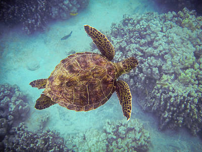 Swimming Honu From Above Art Print