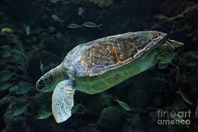Photograph - Swimming Loggerhead Turtle by Carol Groenen