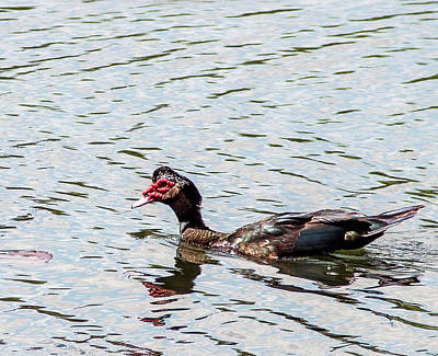 Graduation Hats - Swimming Muscovy by Norman Johnson
